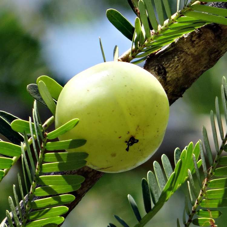 Immunity from your troubles with Amla