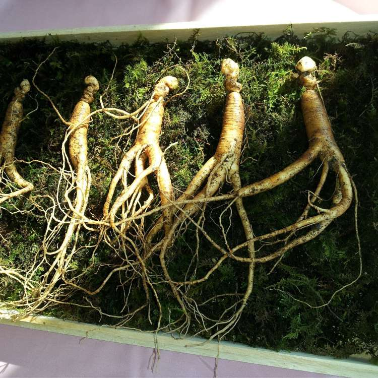 Is ginseng good as an aphrodisiac?