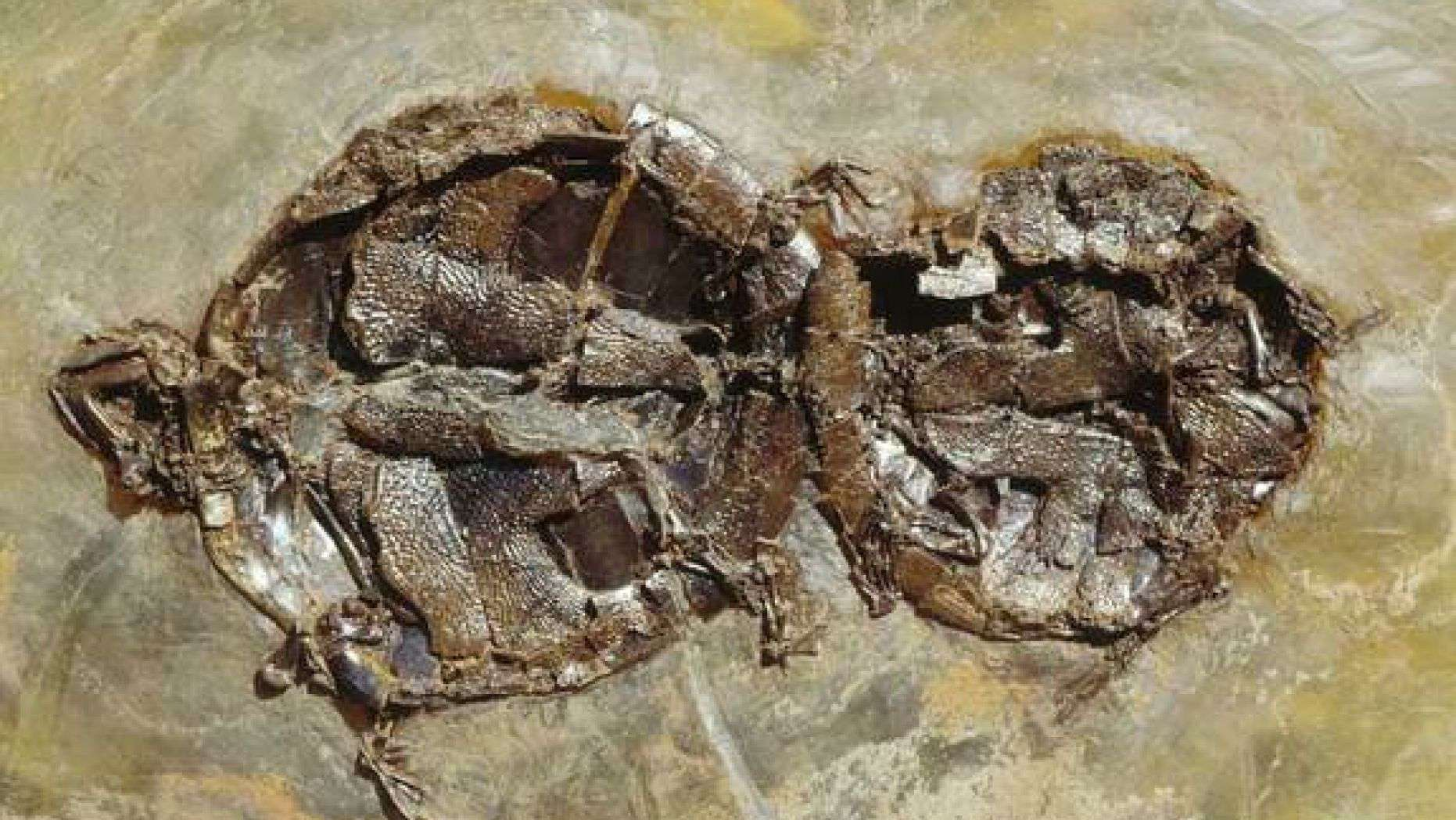 turtle-sex-fossil